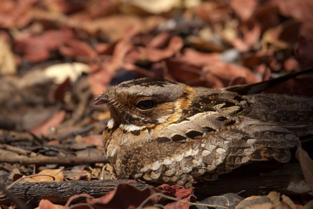 Would you have spotted this fiery-necked nightjar if you'd been a banded mongoose? © Jolyon Troscianko