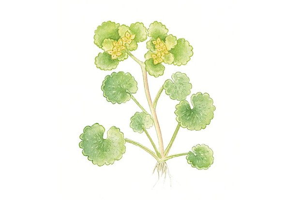 opposite20leaved20golden20saxifrage_Felicity20Rose20Cole-a5adf81