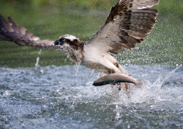 Osprey, Pandion haliaetus, single bird diving for fish, Finland