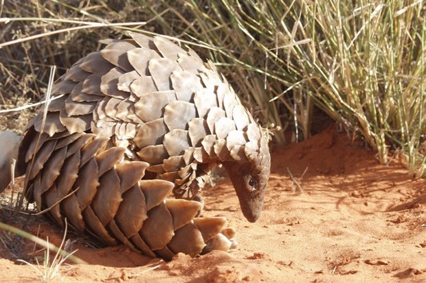 This is Temminck's ground pangolin, an African species found from Chad to South Africa. © African Pangolin Working Group