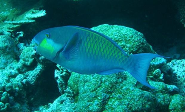parrotfishmain-d543385