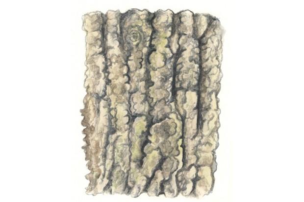 Pedunculate oak tree bark
