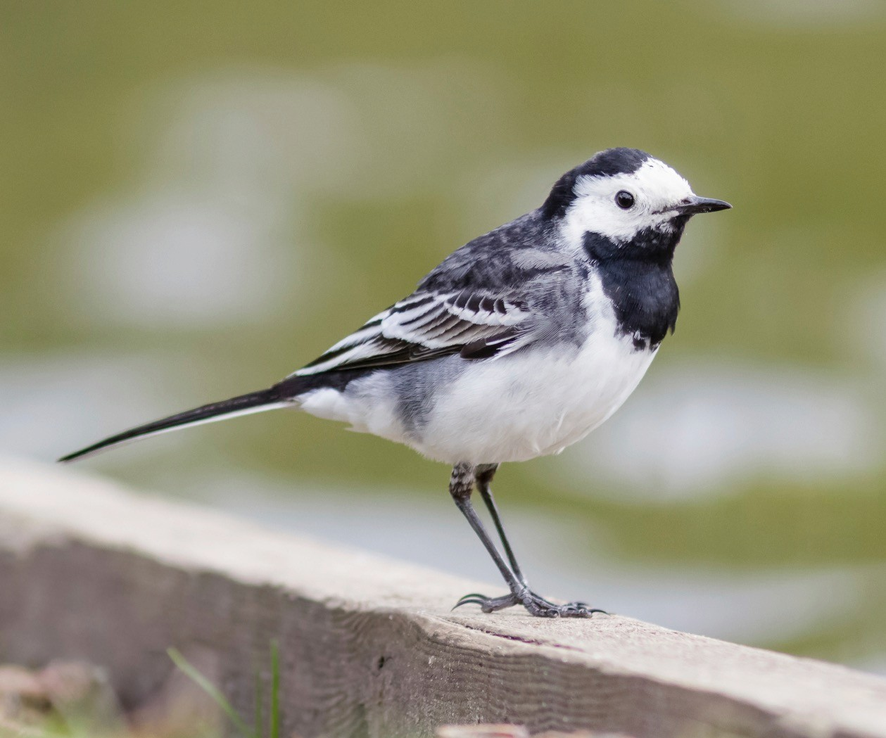 A Pied Wagtail perched on wooden beam by the edge of a lake.