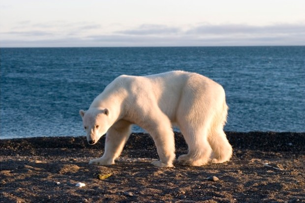 Polar bears can still be legally trophy-hunted in Canada. © IFAW