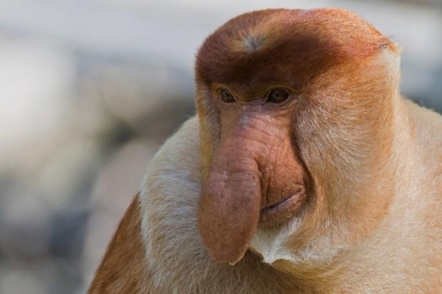 proboscis-monkey_623-679d228