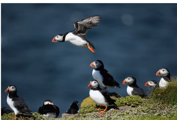 A puffin colony on the Farne Islands. © Jeff J Mitchell/Getty