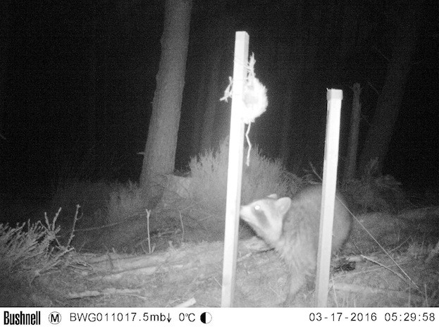 Camera-traps set up by Blackwater Wildlife Recording Group captured images of the raccoon. All images © SNH