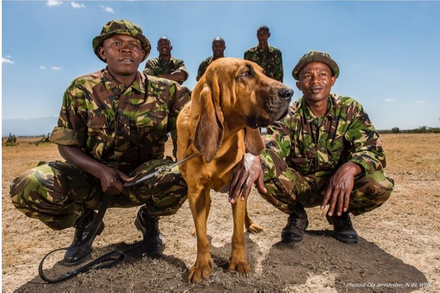 Sniffer dogs at Ol Pejeta Conservancy are used to track poachers, detect ammunition or even to attack suspects. © Ola Jennersten/NIBL WWF