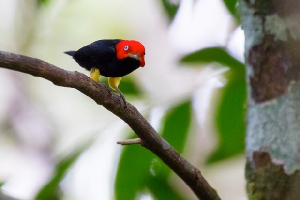 The red-capped manakin – found in the tropical and subtropical lowland forests of Central and South America – is classified as Least Concern on the IUCN Red List. © epantha/Getty