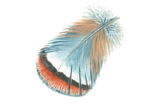 Red-legged partridge feather