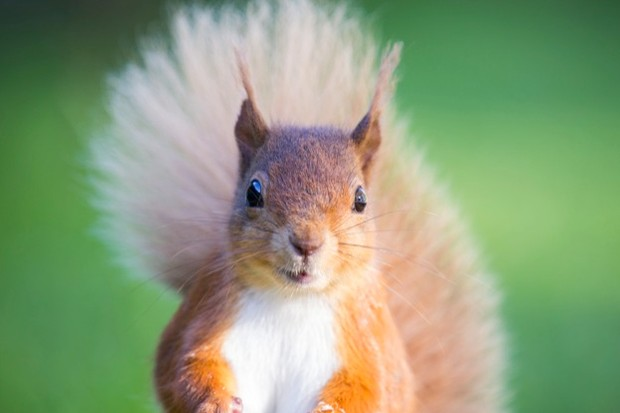 Red Squirrels at the Haweswater Hotel, Lake District, UK.