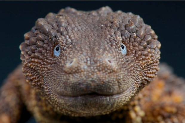 Native to northern Borneo, the earless monitor lizard is one of the world's rarest lizards. © reptiles4all / iStock