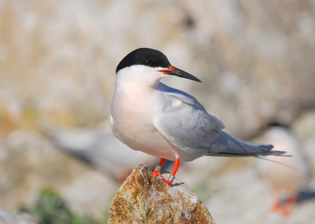 Roseate terns are the rarest breeding seabird in the UK. © RSPB Images