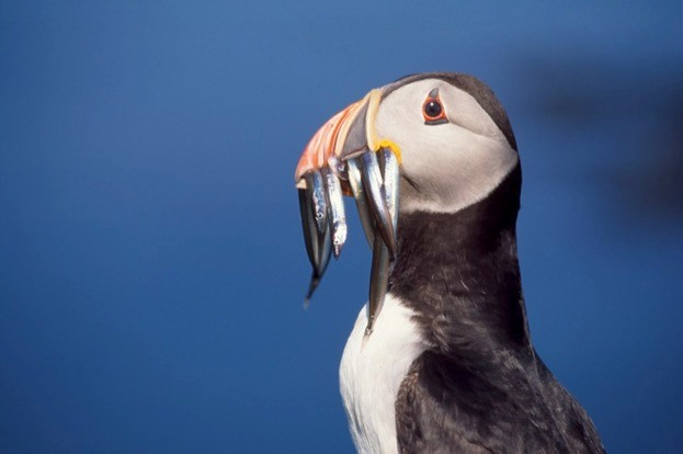 Puffins can hold an amazing number of fish in their beaks –the record is 61 sandeels and one rockling! © RSPB