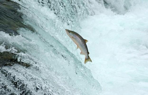 salmon_Mi4711_iStock_623-5b4de1e