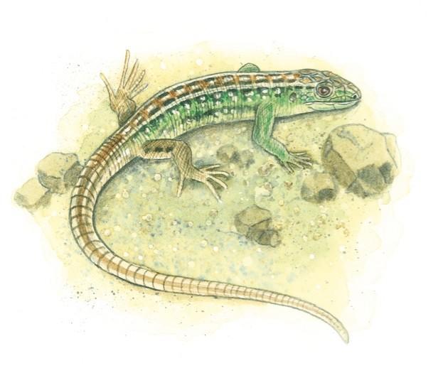 sand-lizard_623-c34e932