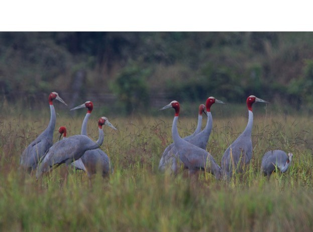 It's estimated there are no more than 15,000 adult Sarus cranes left in the wild. © www.bjornolesen.com/ Fauna & Flora International