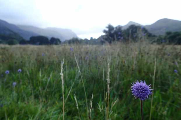 Devil's bit scabious in the meadow, with Snowdonia mountains in the background. © Robbie Blackhall-Miles