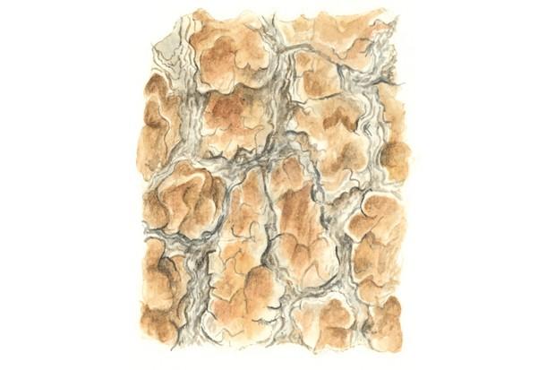 Scots pine tree bark