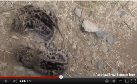 screen-shot-snow-leopard-cubs-in-den-22f732f
