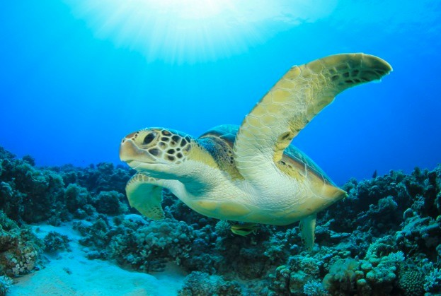 Sea turtle © Rich Carey / iStock