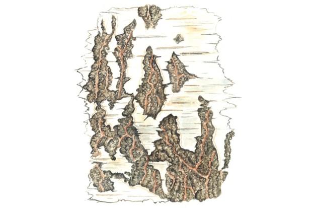 Silver birch tree bark