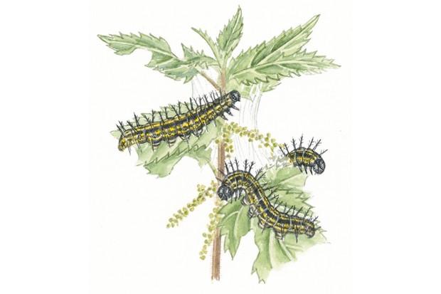How to identify common caterpillars | Caterpillar identification