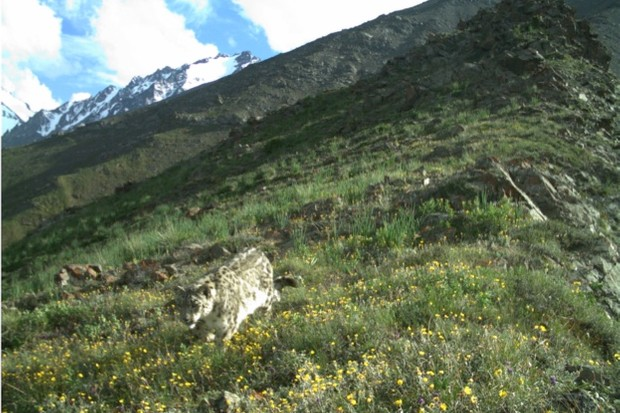Of the world's big cats, only tigers are more threatened than snow leopards. @ Snow Leopard Foundation