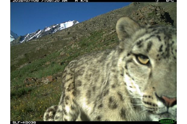 snowleopard2_slf_623-43803a0
