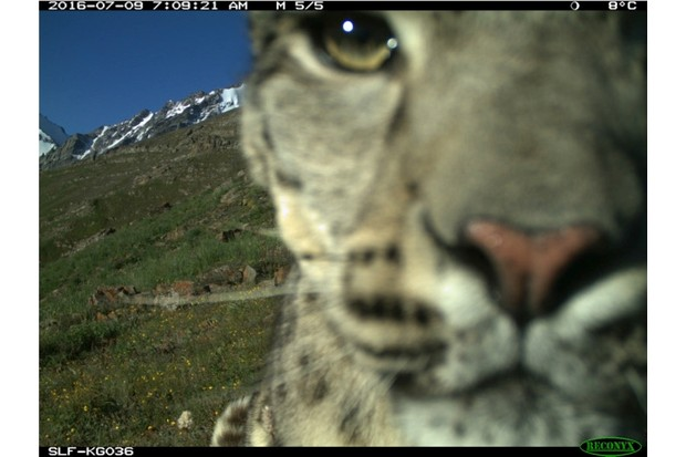 snowleopard3_slf_623jpg-0dee8ae