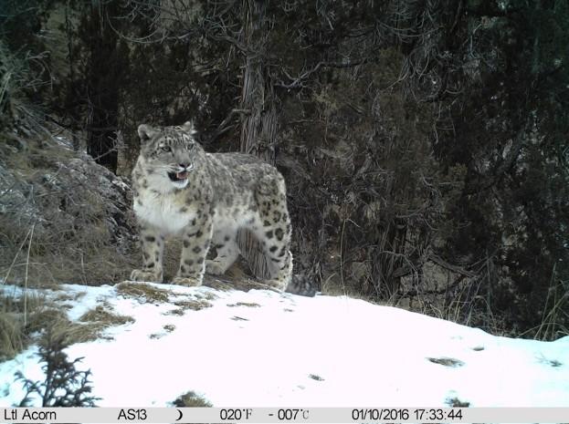 snowleopard_623-b55d430