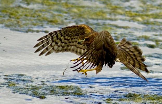 sparrowhawk623_keithcochrane-6aa5ed2