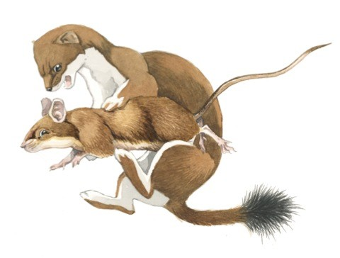 stoat-and-mouse_fg_480-44cfade