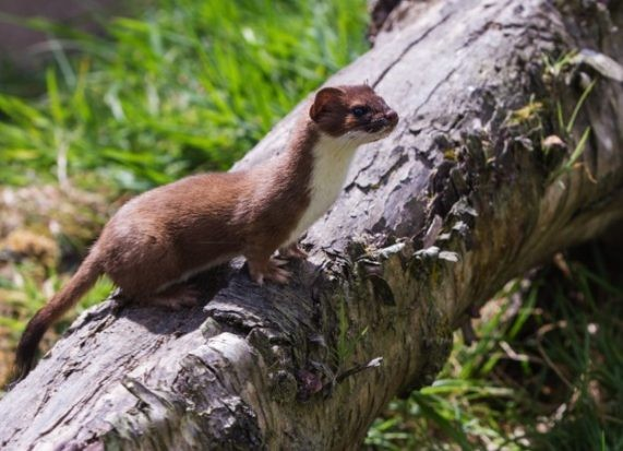 One of the key identifying features of a stoat is the black tip on its tail © Stephan Morris/iStock