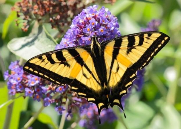 swallowtail_glennmccrea_623-8e82910