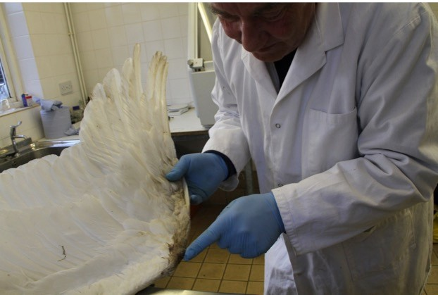 Paralysis of this whooper swan's legs, caused by lead poisoning, forced it to use its wings for propulsion, resulting in the mud on its carpal joint, as shown here.