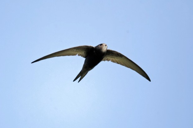 Swift, Apus apus, single bird in flight, Oxfordshire, April 2012