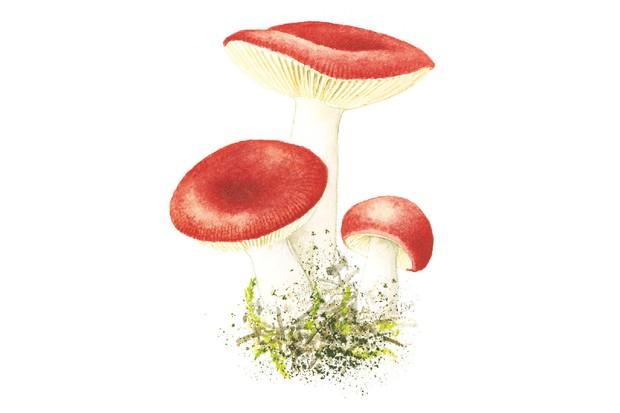 The sickener mushroom