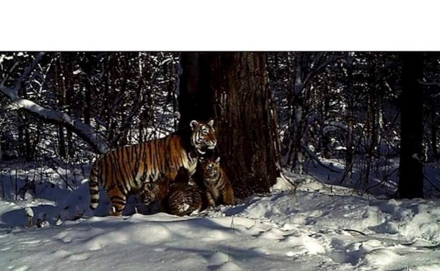 Scientists discovered Zolushka had given birth to cubs when they were captured on motion-sensitive remote cameras.