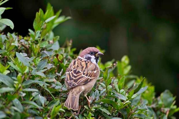 Tree sparrow © John Harding/BTO