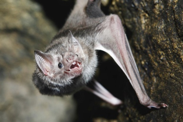 A vampire bat baring its fangs for the camera