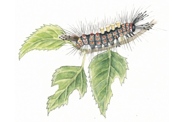 Gray Caterpillars That Are Big: How To Identify Common Caterpillars