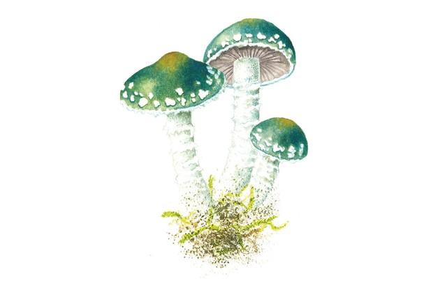 Verdigris roundhead mushroom