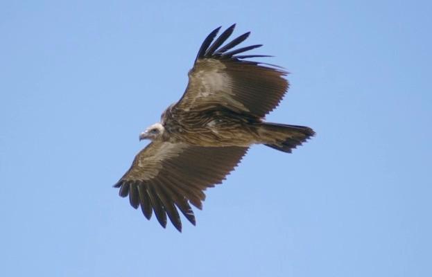 vulture_AlanSimpson_623-1082306