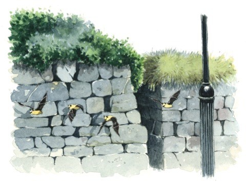 wall-bats-bbc_federico-gemma_480-e5d9cd2
