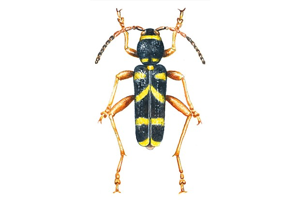 How to identify longhorn beetles - Discover Wildlife