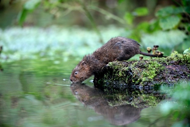 Water vole, Arvicola terrestris, Kent, August 2009