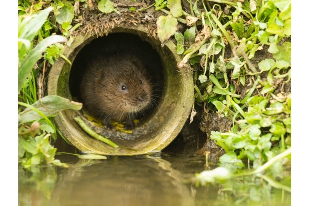 Water vole emerging from a drainage pipe