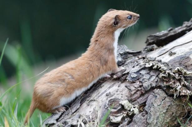 Weasel © Mike Lane / iStock (captive animal)