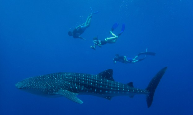 whale-shark-credit-MWSRP_623-d162456